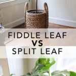 A new plant to love; Fiddle Leaf Fig vs Split Leaf Philodendron