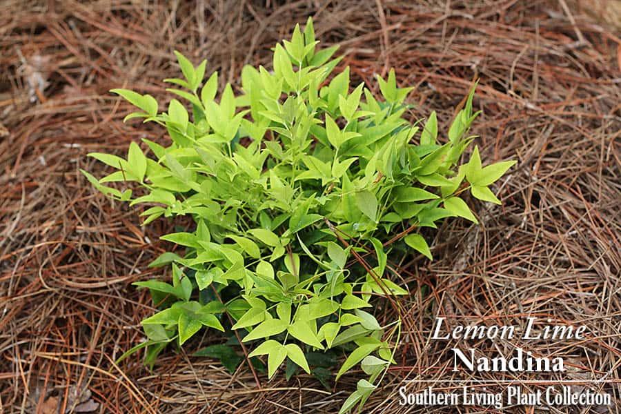 lemonlimenandina